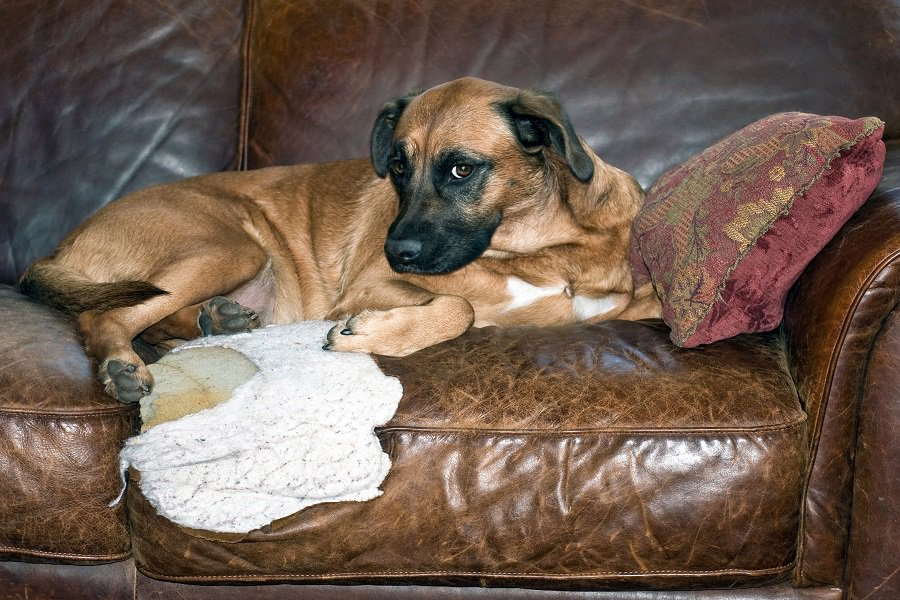 Dog chews hole in brown leather sofa